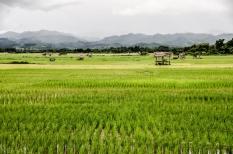 Campos de arroz en Luang Namtha.