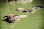 Búfalos de agua.