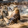 TigerTemple-67