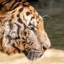 TigerTemple-98